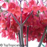 Kalanchoe serrata, Bryophyllum serratum, Kalanchoe Magic Tower  Click to see full-size image