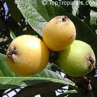 Eriobotrya japonica - Loquat Vista White, graftedClick to see full-size image