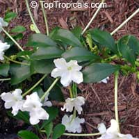 Brunfelsia americana, Lady of the night  Click to see full-size image