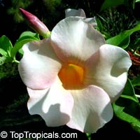 Allamanda violacea Peaches and Cream   Click to see full-size image