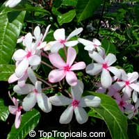 Kopsia fruticosa - Pink Gardenia  Click to see full-size image