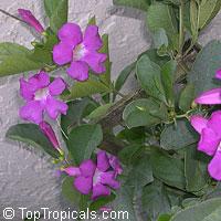 Saritaea magnifica, Glowvine, purple bignonia, saritaea  Click to see full-size image