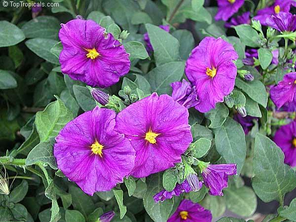 Solanum rantonnetii, L...