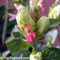 Justicia brandegeana Fruit Cocktail, Fruit Cocktail Shrimp Plant  Click to see full-size image