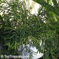 Hatiora salicornioides ( bambusoides, villigera, stricta ), Hariota salicornioides, Drunkards Dream, Spice Cactus, Cactus PencilClick to see full-size image