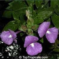 Achetaria azurea, Otacanthus caeruleus, Brazilian Snapdragon, Amazon BlueClick to see full-size image