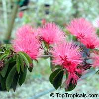 Calliandra emarginata, Inga emarginata, Powderpuff  Click to see full-size image