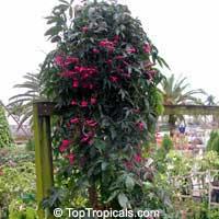 Ipomoea horsfalliae, Cardinal Creeper, Prince Kuhio Vine  Click to see full-size image