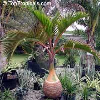Hyophorbe lagenicaulis - Bottle palmClick to see full-size image