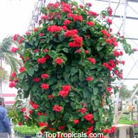 Clerodendrum splendens, Flaming Glorybower, Clerodendron  Click to see full-size image