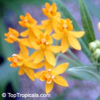 Asclepias tuberosa, Milkweed, Flame Weed, Butterfly Weed, Gay Butterflies, Pleurisy Root  Click to see full-size image