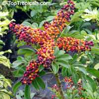Schefflera arboricola - seeds  Click to see full-size image