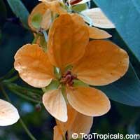Cassia antillana, Senna nitida, Chamaefistula antillana, Cassia aurea, Golden Rain tree  Click to see full-size image