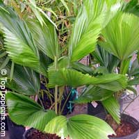 Licuala grandis, Ruffled Fan Palm
