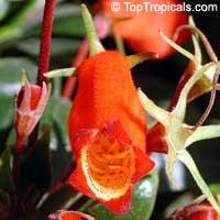 Seemannia sylvatica, Gloxinia sylvatica, Bolivian Sunset GloxiniaClick to see full-size image