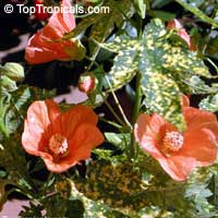 Abutilon pictum, Golden Rain Flowering Maple, Thompsons Flowering Maple, Bell Flower  Click to see full-size image