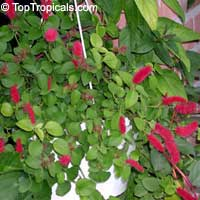 Acalypha hispaniolae, Acalypha pendula, Dwarf Cat Tails, Kitten's Tail, Trailing Acalypha