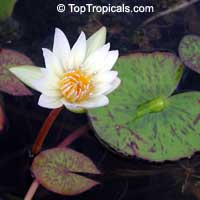 Nymphaea sp., Water Lily  Click to see full-size image