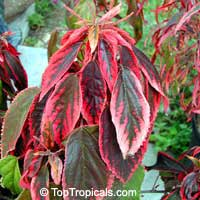 Acalypha godseffiana 'Heterophylla', Copper Leaf, Beefsteak Plant, Fire Dragon, Jacobs Coat
