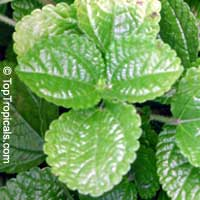 Pilea nummulariifolia, Creeping CharlieClick to see full-size image