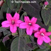 Ruellia makoyana, Dipteracanthus makoyanus, Dipteracanthus devosianus, Monkey flower, Monkey Plant, Trailing Velvet Plant  Click to see full-size image