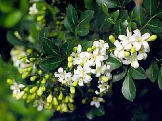 Fragrant Plants Toptropicals Com