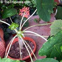 Jatropha podagrica, Gout Plant, Gout Stick, Buddha Belly, Guatemala Rhubarb, Tartogo  Click to see full-size image