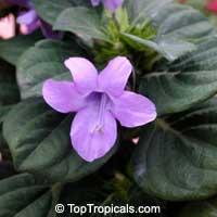 Barleria cristata, Philippine Violet, Crested Philippine Violet, December FlowerClick to see full-size image