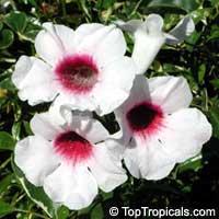Pandorea jasminoides - Variegated Pandora vineClick to see full-size image
