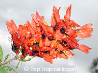 Ruttya fruticosa Orange, Rabbit ears, Orange bird, Hummingbird plant