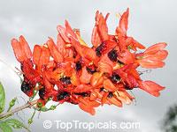 Ruttya fruticosa Orange, Rabbit Ears, Orange Bird, Hummingbird plant  Click to see full-size image