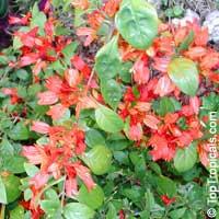 Ruttya fruticosa Orange, Rabbit Ears, Orange Bird, Hummingbird plantClick to see full-size image