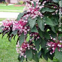 Clerodendrum quadriloculare - Winter Starburst