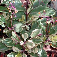 Talinum paniculatum variegatum, Variegated Jewels of Opar  Click to see full-size image