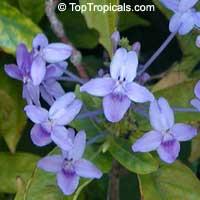 Pseuderanthemum graciflorum, Pseuderanthemum graciliflorum, Pseuderanthemum andersonii, Blue Twilight, Blue Crossandra, Florida Twilight  Click to see full-size image