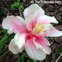 Hibiscus Dark Star, Hibiscus Dark Star - Double Pink  Click to see full-size image