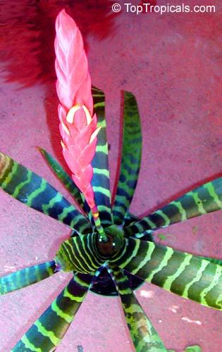 Vriesea Sp Bromeliad Toptropicals Com