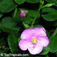 Talinum paniculatum,Talinum roseum, Portulaca paniculata, Jewels of Opar, Florida SpinachClick to see full-size image