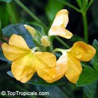 Crossandra infundibuliformis, Crossandra undulifolia Yellow, Yellow Crossandra  Click to see full-size image