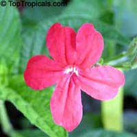 Ruellia rosea, Pink Ruellia, Red RuelliaClick to see full-size image