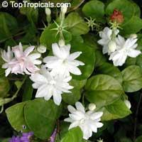 Jasminum sambac Mysore Mulli, 1 gal pot  Click to see full-size image