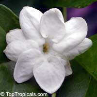 Jasminum sambac Maid of Orleans - 3 gal pot