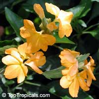 Crossandra Florida Summer Yellow  Click to see full-size image