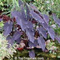 Colocasia esculenta Black Runner  Click to see full-size image