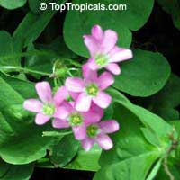 Oxalis sp., Shamrock, Wood Sorrel
