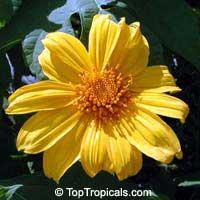 Tithonia diversifolia, Sunflower Tree, Tree Marigold, Wild Sunflower   Click to see full-size image