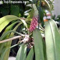 Anthurium vittarifolium, Anthurium  Click to see full-size image