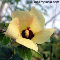 Thespesia Portica Asiatica, Asian Portoe, Dwarf Asian Portia, Sea Hibiscus