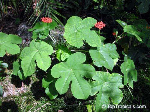 Jarak Bunting – Jatropha podagrica