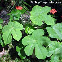 Jatropha podagrica, Gout Plant, Gout Stick, Gatemala Rhubarb